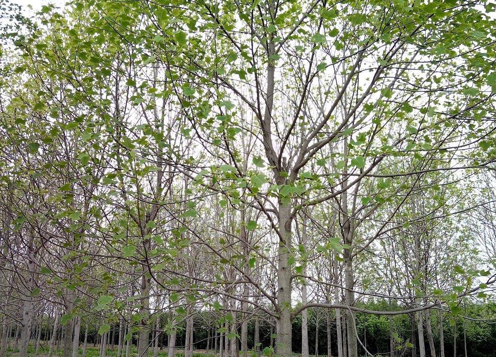 12公分马褂木