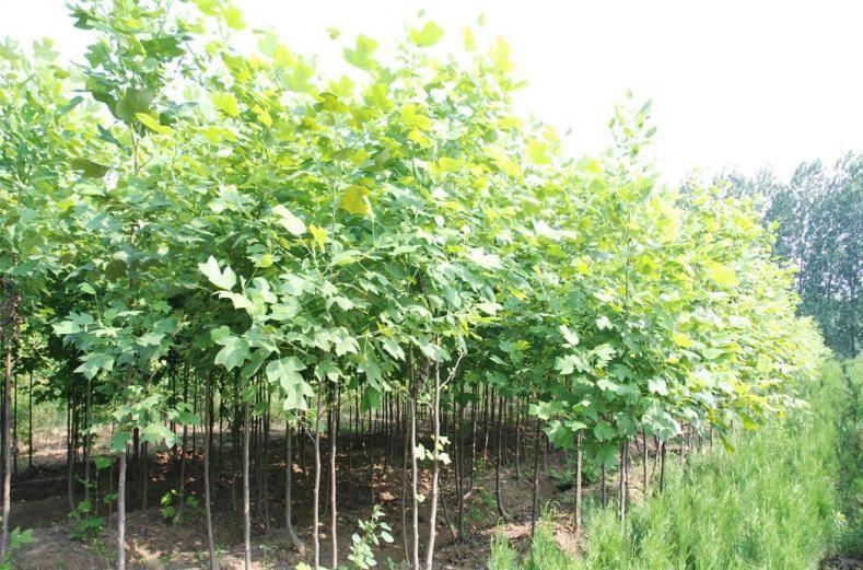 15cmf1 杂交马褂木