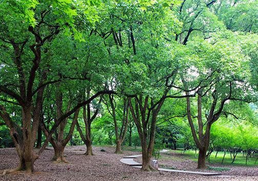 香樟樹行情