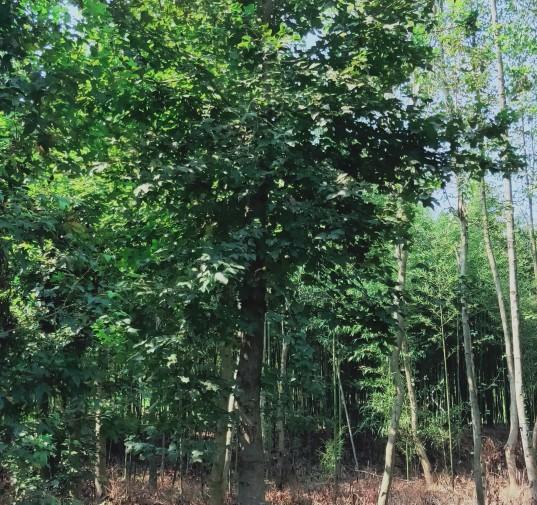 8公分枫香树价格