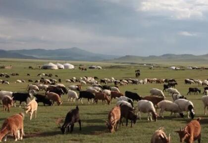 实拍蒙古国牧场捐赠给中国的羊羊们