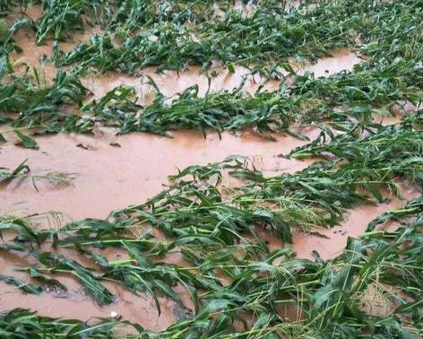 台风致吉林玉米大面积倒伏 损失大到无法补救