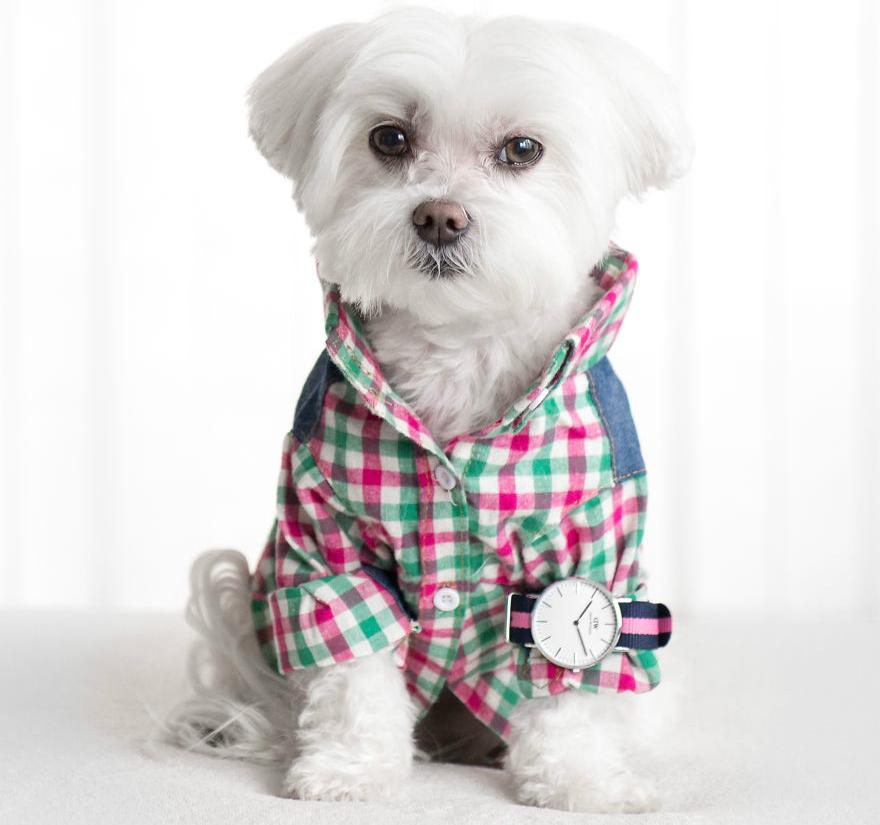 宠物咨询共享知识,介绍泰迪常见病让你更了解它